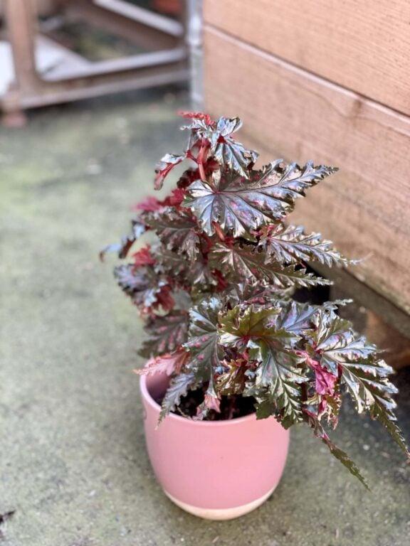 Zdjęcie rośliny Begonia serratipetala, ujęcie 1