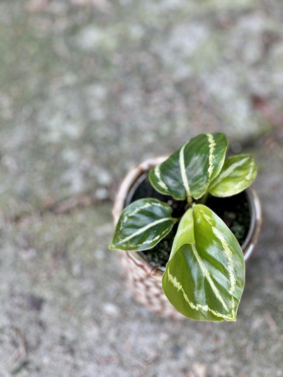 Zdjęcie rośliny Calathea roseopicta green, ujęcie 1