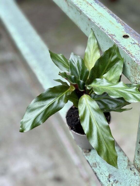 Zdjęcie rośliny Calathea rufibarba, ujęcie 1