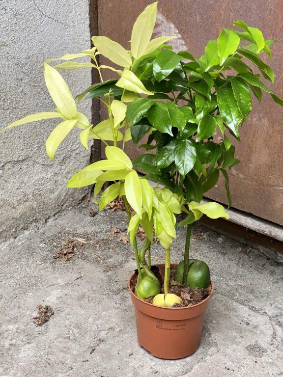 Zdjęcie rośliny Castano magnifico variegata, ujęcie 1
