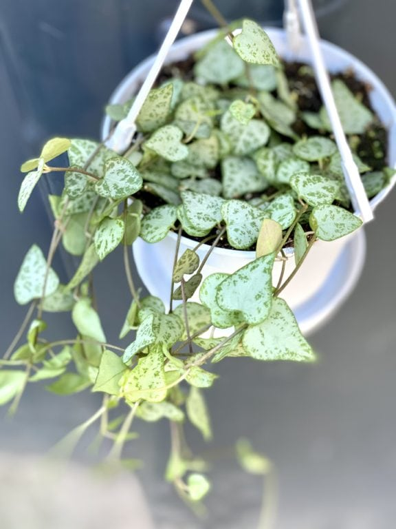 Zdjęcie rośliny Ceropegia woodii Durban, ujęcie 1