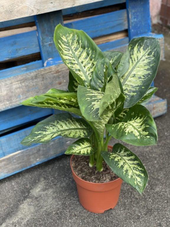 Zdjęcie rośliny Dieffenbachia Reeva, ujęcie 1