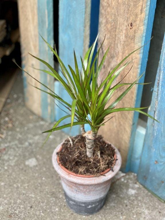 Zdjęcie rośliny Dracaena marginata bicolor (Dracena), ujęcie 1