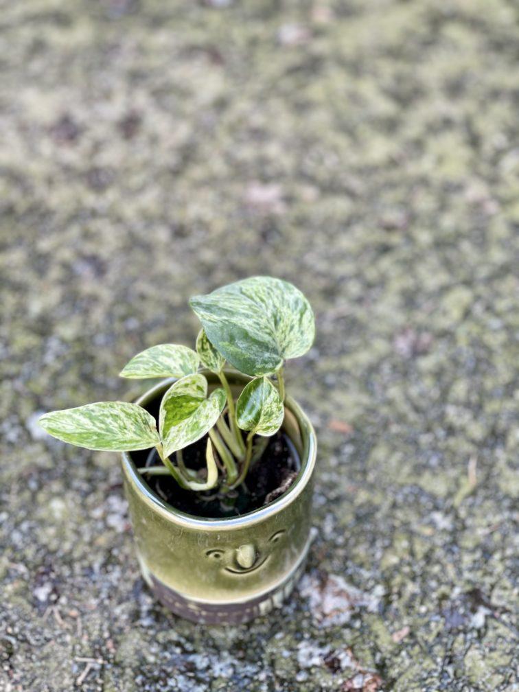 Zdjęcie rośliny Epipremnum Marble Queen, ujęcie 3