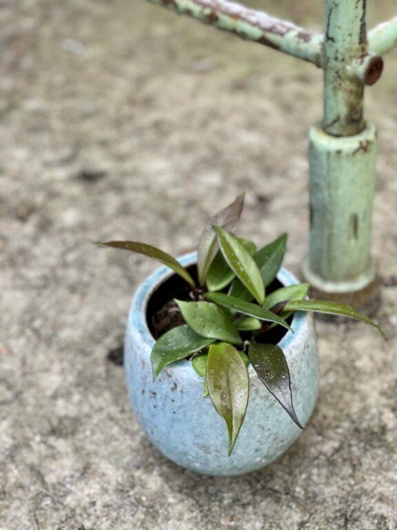 Zdjęcie rośliny Hoya carnosa Dark Red, ujęcie 1