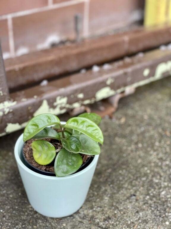 Zdjęcie rośliny Hoya Carnosa Krinkle, ujęcie 1