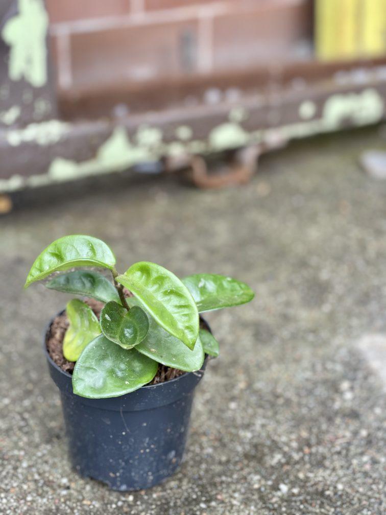 Zdjęcie rośliny Hoya Carnosa Krinkle, ujęcie 2
