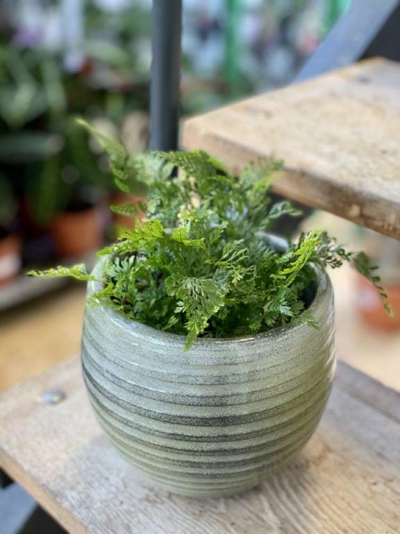 Zdjęcie rośliny Humata Tyermanii, ujęcie 1