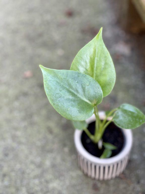 Zdjęcie rośliny Monstera Deliciosa, ujęcie 1