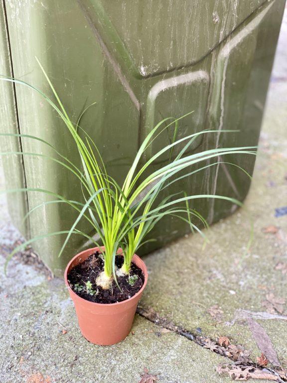 Zdjęcie rośliny Nolina, ujęcie 1