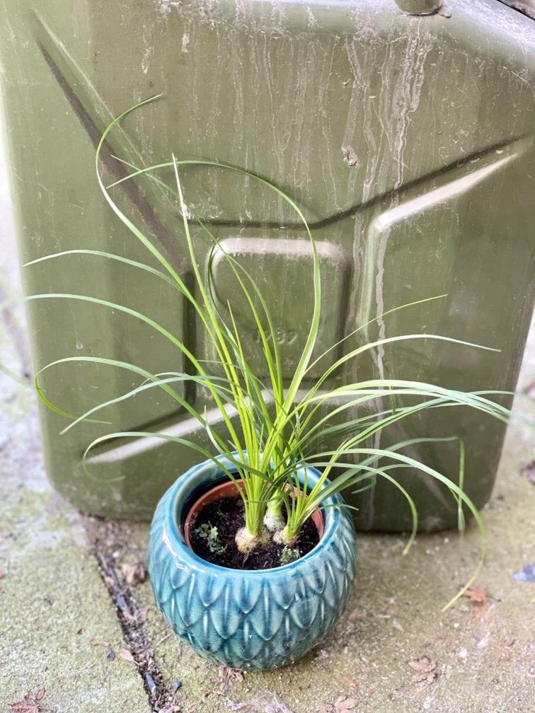 Zdjęcie rośliny Nolina, ujęcie 2
