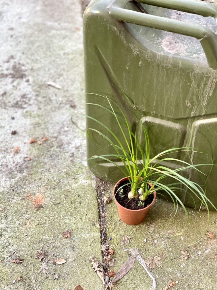 Zdjęcie rośliny Nolina, ujęcie 3