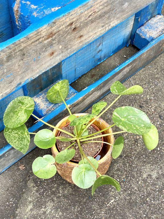 Zdjęcie rośliny Pilea peperomioides Mojito, ujęcie 1