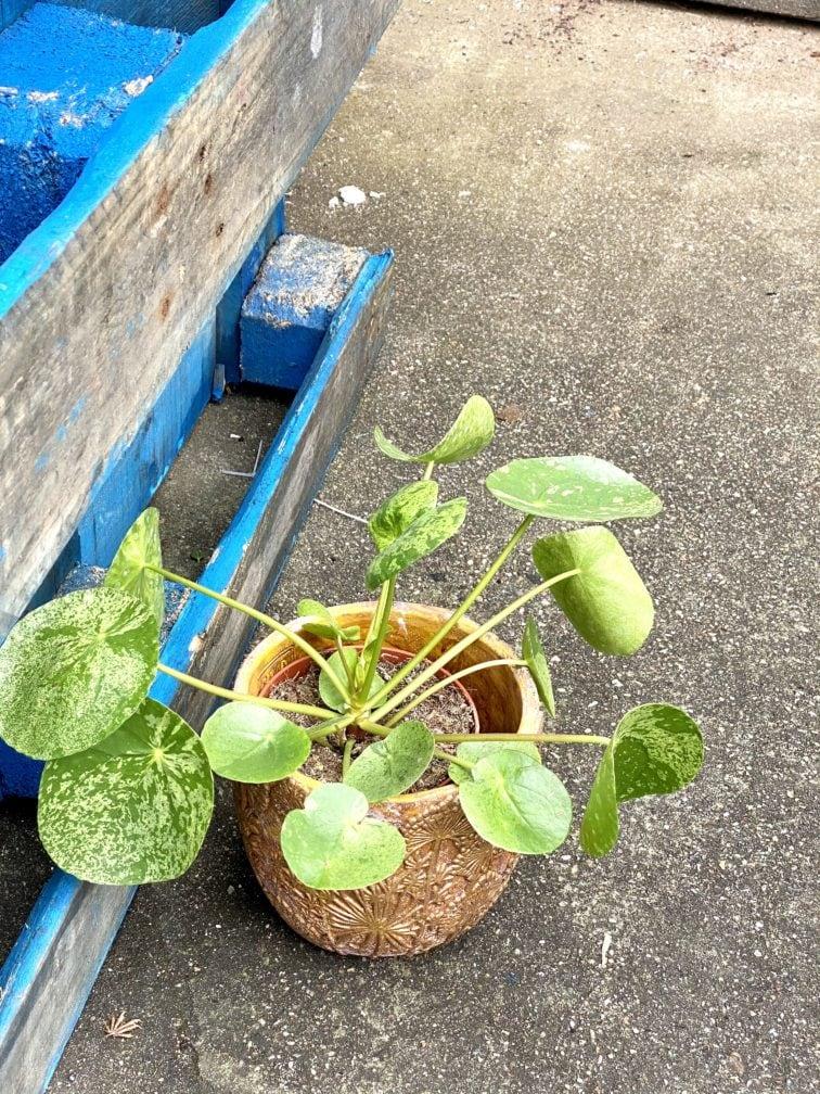 Zdjęcie rośliny Pilea peperomioides Mojito, ujęcie 3