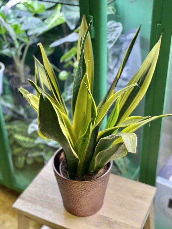 Zdjęcie rośliny Sansevieria Golden Flame, ujęcie 1