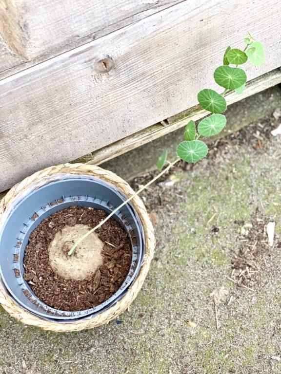 Zdjęcie rośliny Stephania erecta, ujęcie 1