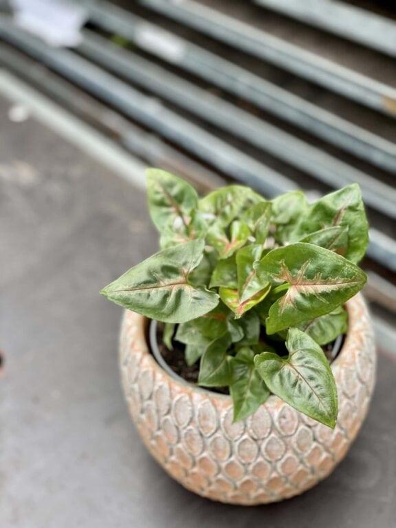 Zdjęcie rośliny Syngonium Christmass, ujęcie 1