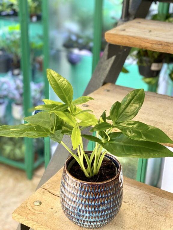 Zdjęcie rośliny Syngonium Podophyllum Trileaf Wonder, ujęcie 1