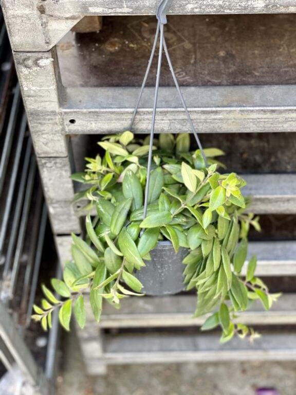 Zdjęcie rośliny Aeschynanthus Caroline, ujęcie 1