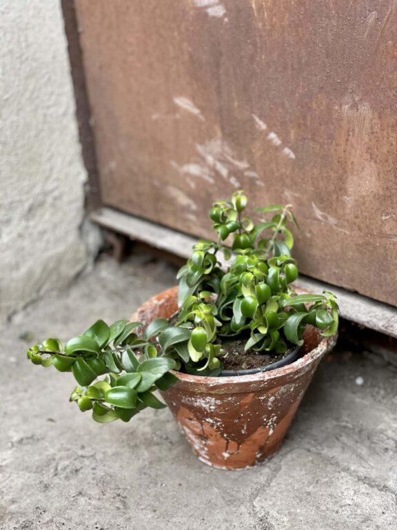 Zdjęcie rośliny Aeschynanthus Rasta, ujęcie 1