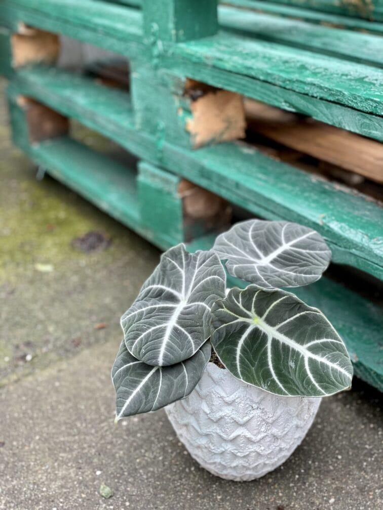 Zdjęcie rośliny Alocasia Black Velvet, ujęcie 3