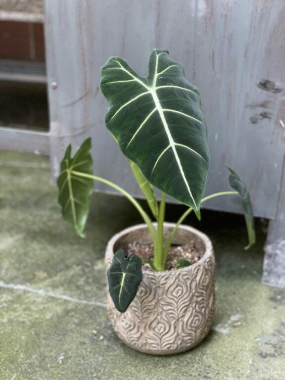"""Zdjęcie rośliny Alocasia micholitziana """"Frydek"""", ujęcie 1"""