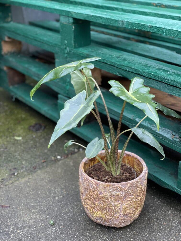 Zdjęcie rośliny Alocasia Sarian, ujęcie 1