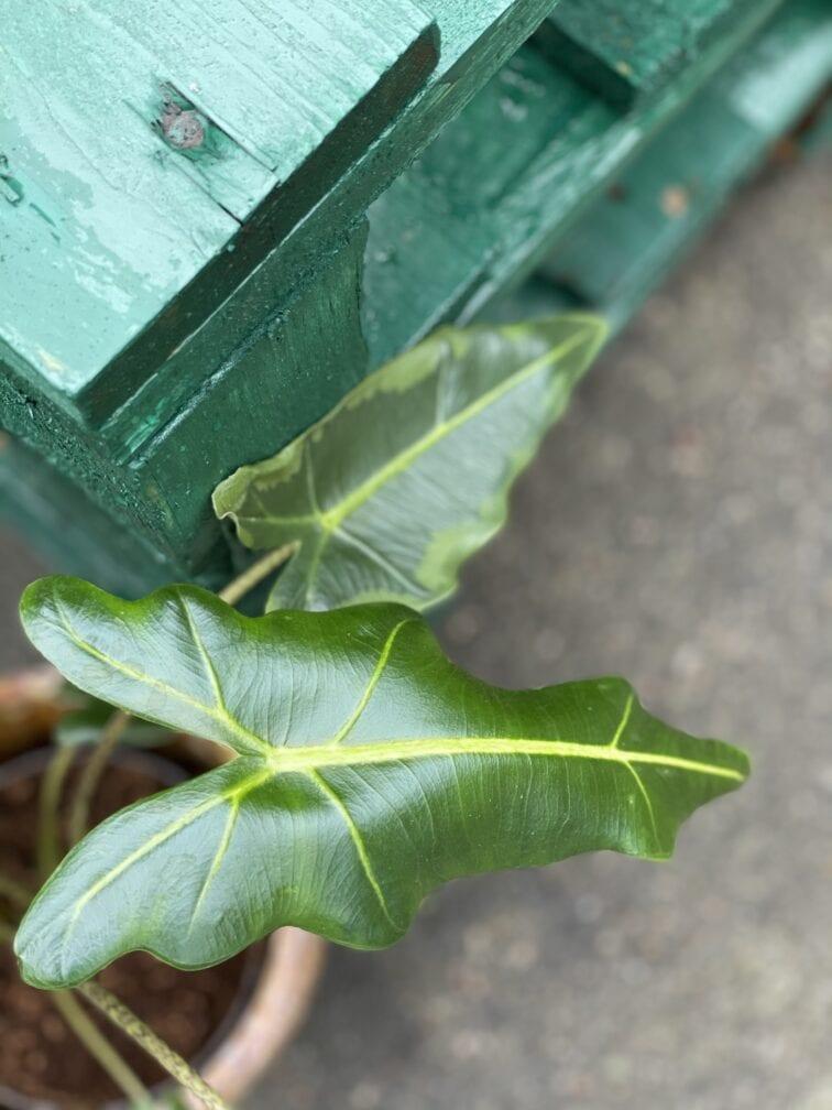 Zdjęcie rośliny Alocasia Sarian, ujęcie 2