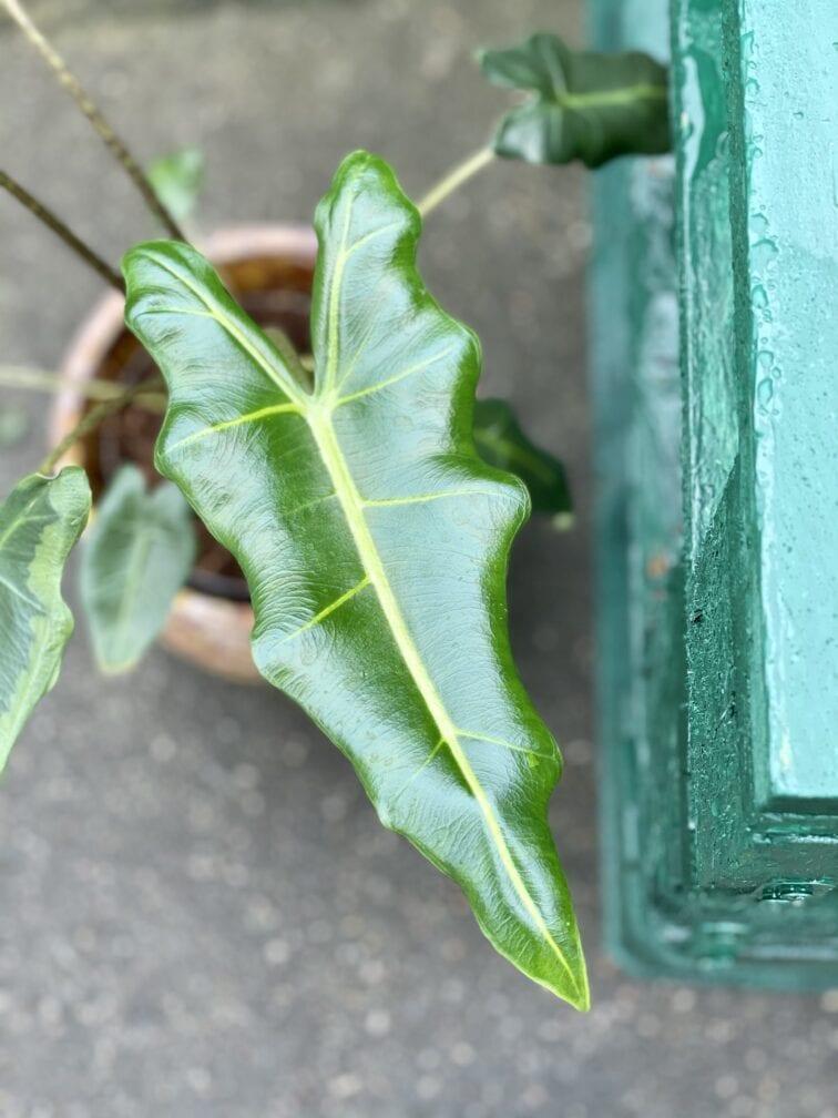 Zdjęcie rośliny Alocasia Sarian, ujęcie 3