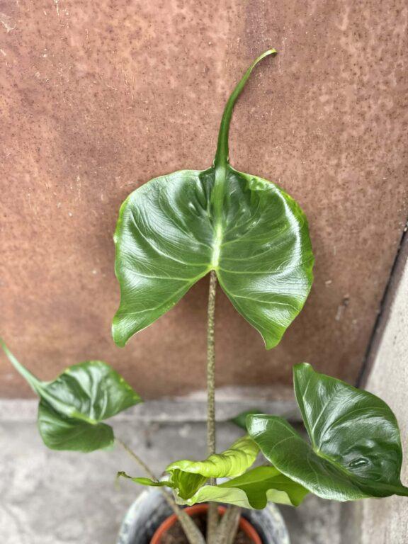 Zdjęcie rośliny Alocasia Stingray, ujęcie 1