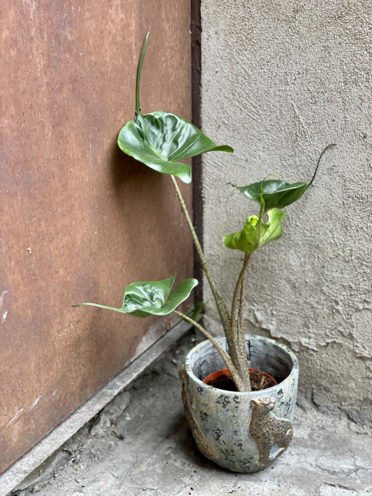 Zdjęcie rośliny Alocasia Stingray, ujęcie 2