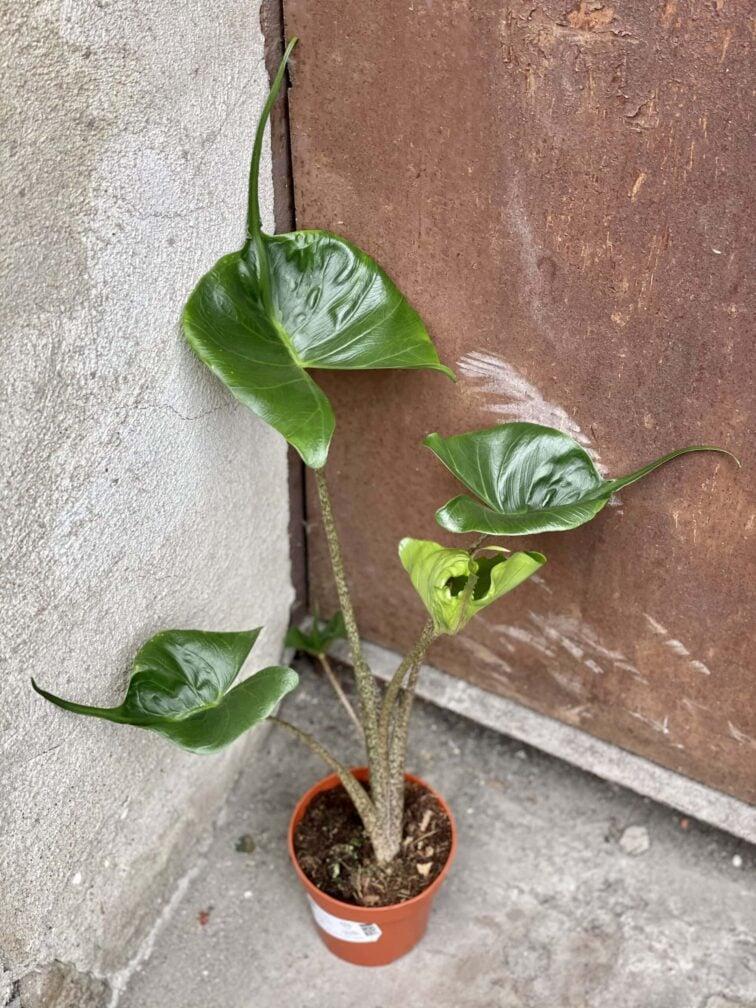 Zdjęcie rośliny Alocasia Stingray, ujęcie 3