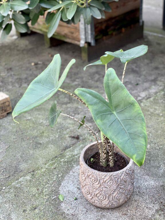 Zdjęcie rośliny Alocasia Zebrina, ujęcie 1