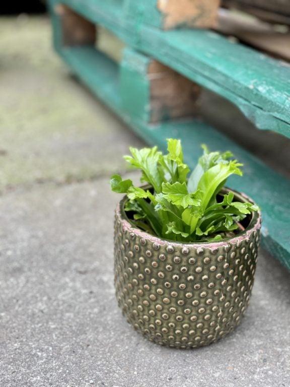 Zdjęcie rośliny Asplenium Leslie, ujęcie 1