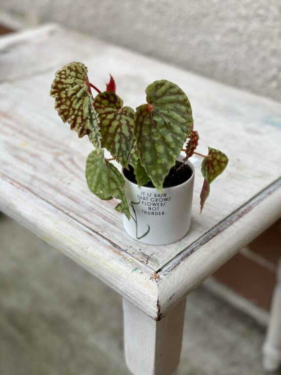 Zdjęcie rośliny Begonia chlorosticta dark form, ujęcie 1
