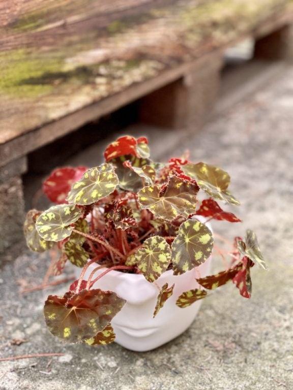 Zdjęcie rośliny Begonia rex Tiger Paws, ujęcie 1