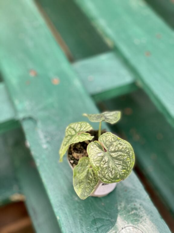 Zdjęcie rośliny Caladium White Christmas, ujęcie 1