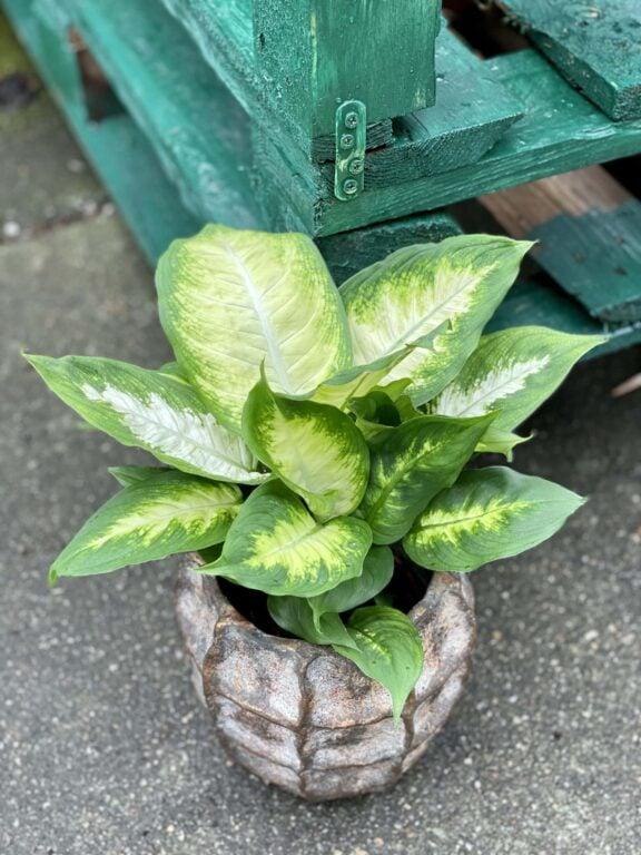 Zdjęcie rośliny Dieffenbachia Camilla, ujęcie 1