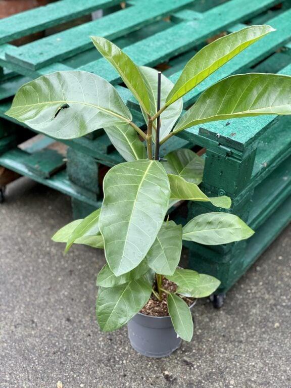Zdjęcie rośliny Ficus benghalensis Roy (Fikus bengalski Roy), ujęcie 1