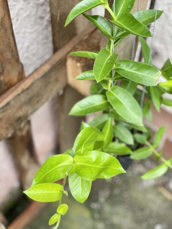 Zdjęcie rośliny Hoya densifolia, ujęcie 1