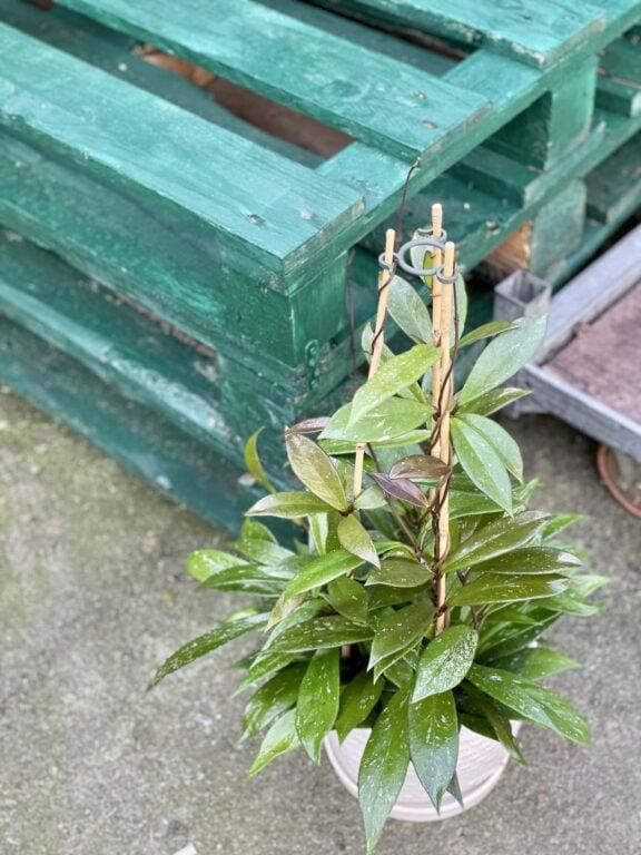 Zdjęcie rośliny Hoya Publicalix, ujęcie 1