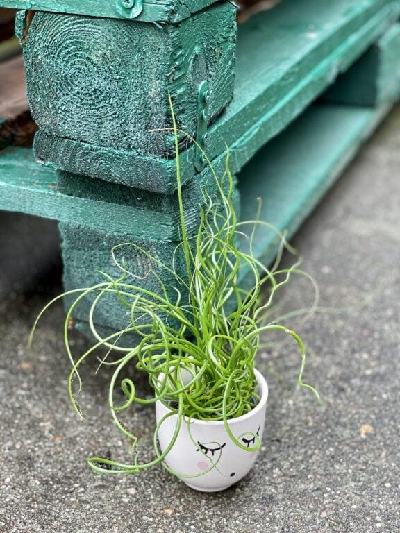 Zdjęcie rośliny Juncus effusus Spiralis (Sit rozpierzchły spiralny), ujęcie 1