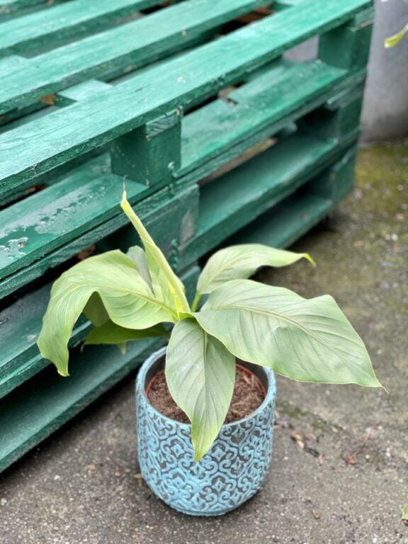Zdjęcie rośliny Musa Basjoo, ujęcie 1