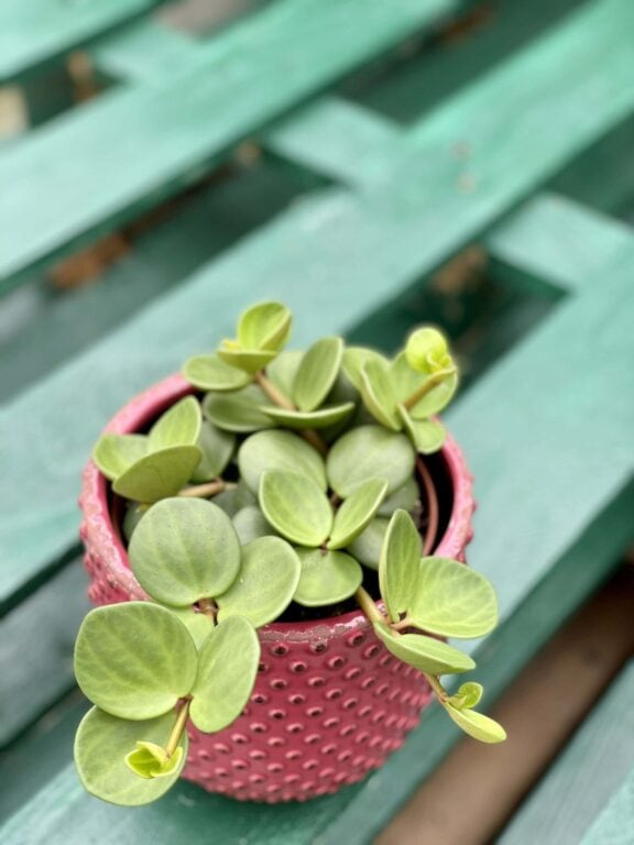 Zdjęcie rośliny Peperomia Hope, ujęcie 1