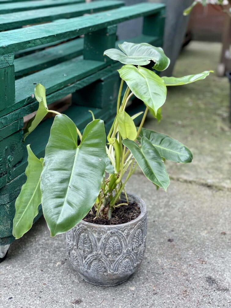 Zdjęcie rośliny Philodendron Burle Marx, ujęcie 1