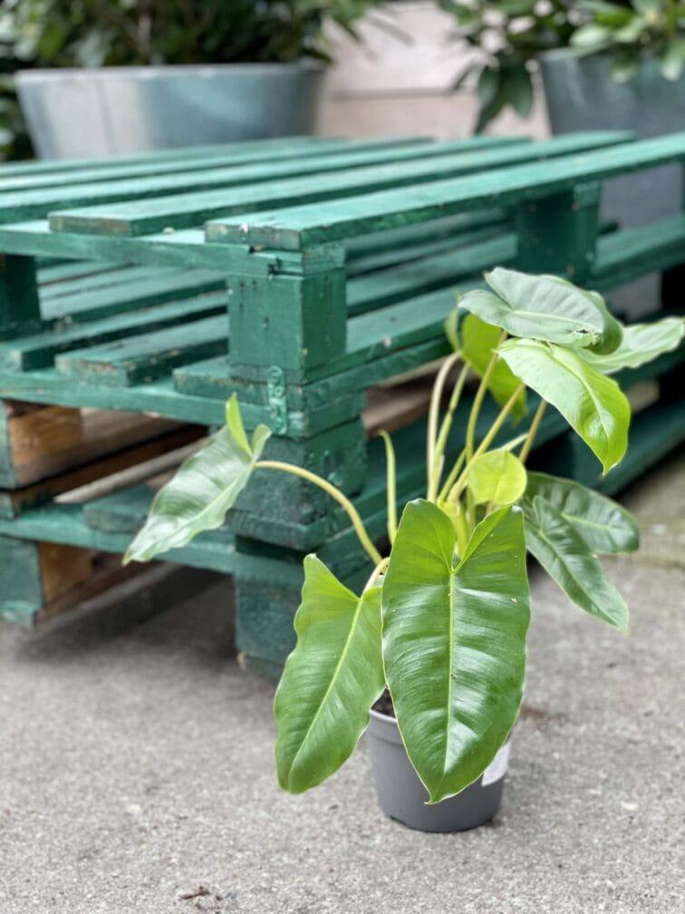 Zdjęcie rośliny Philodendron Burle Marx, ujęcie 3