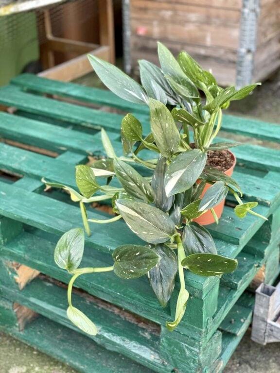 Zdjęcie rośliny Philodendron Cobra, ujęcie 1