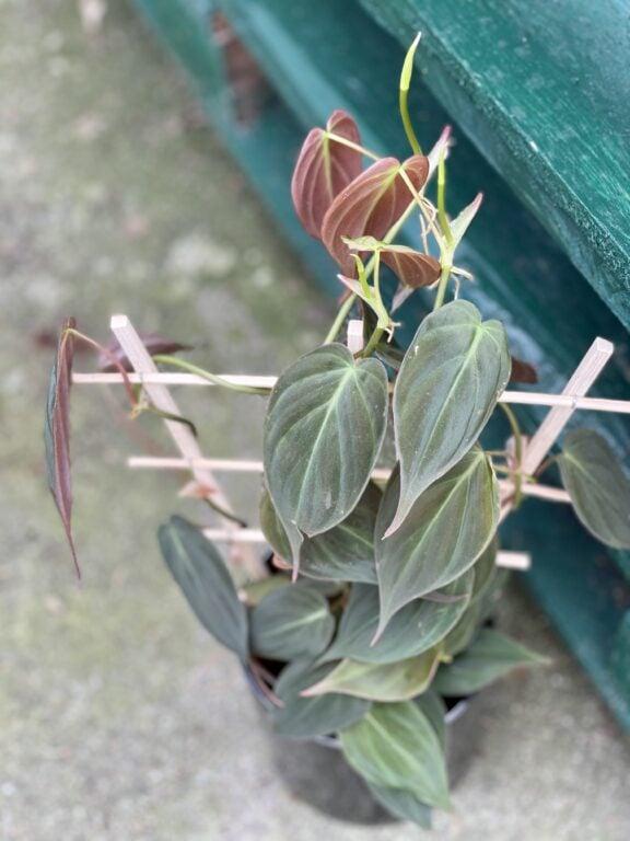 Zdjęcie rośliny Philodendron Micans, ujęcie 1