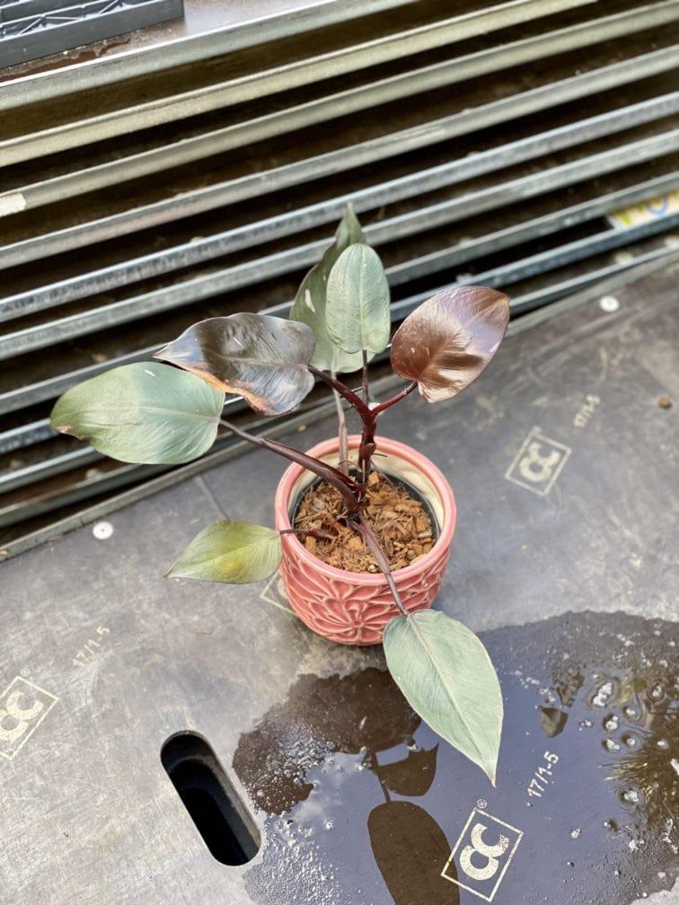 Zdjęcie rośliny Philodendron Pink Princess, ujęcie 3
