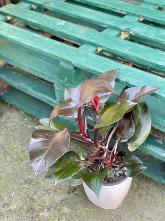 Zdjęcie rośliny Philodendron Purple Congo, ujęcie 1